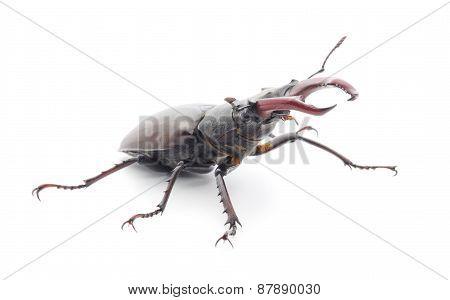 Bugs (oryctes Nasicornis)