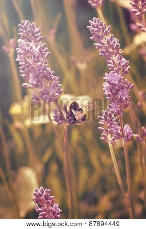 Lavender Flowers With Bee Gathering Pollen