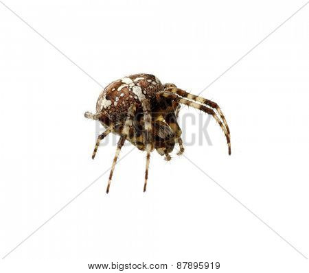 Spider isolated on the white