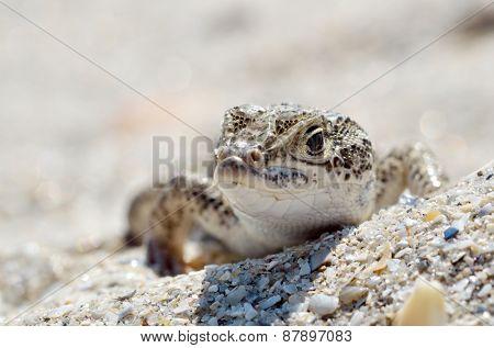 steppe racer lizard in natural habitat (Eremias arguta) - Black Sea shore