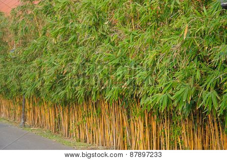 Dense Foliage Of Fresh Green Bamboo