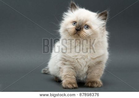 cute british kitten
