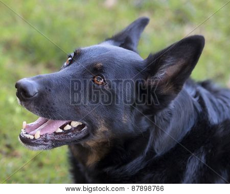 Large Breed German Shepherd Belguim Mailinois Mix