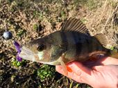 stock photo of caught  - Freshly caught perch in the hands of the fisherman - JPG