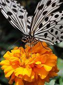pic of suck  - White butterfly sucking nectar from orange flower  - JPG