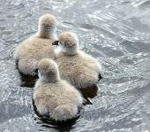pic of black swan  - Three Black Swan Cygnets clutching together on a lake - JPG