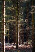 stock photo of coniferous forest  - coniferous forest with closely spaced trees in sidelight - JPG