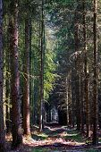pic of conifers  - path through a dark forest from conifers with a few sunspots - JPG