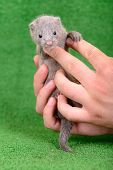 pic of mink  - small gray animal mink on a human hand on a green background - JPG