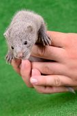picture of mink  - small gray animal mink on a human hand on a green background - JPG