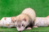 picture of ferrets  - young animal rodent ferret on a green background - JPG