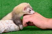 pic of ferrets  - small animal rodent ferret in human hand on a green background - JPG