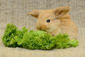 stock photo of cony  - newborn little brown rabbit with long ears - JPG