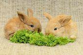 stock photo of wild-rabbit  - rwo newborn little brown rabbit with long ears - JPG