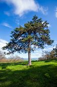 picture of pheasant  - Pine tree witn Pheasant - JPG