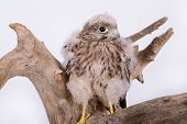 stock photo of driftwood  - young chick hawk sitting on a wooden driftwood on a white background - JPG