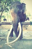 pic of tusks  - Old elephant with long tusks - JPG