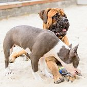foto of bull-mastiff  - two dogs - JPG