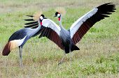 stock photo of mating animal  - Two Black Crowned Canes performing mating dance. Tanzania, Ngorongoro, East-Africa. ** Note: Soft Focus at 100%, best at smaller sizes - JPG