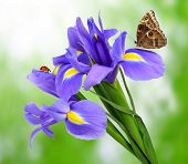 image of purple iris  - purple iris flower with butterfly morpho on green background - JPG