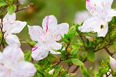 picture of azalea  - Pink azaleas in the park close up and soft focus - JPG