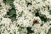 picture of butterfly-bush  - White blooming lilac bush and beautiful butterfly - JPG