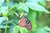 stock photo of blue butterfly  - Blue Spotted Milkweed butterfly and flower - JPG