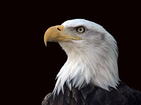 pic of bald headed  - A bald eagle  - JPG
