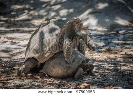 Seychelles Giant Tortoise Mating