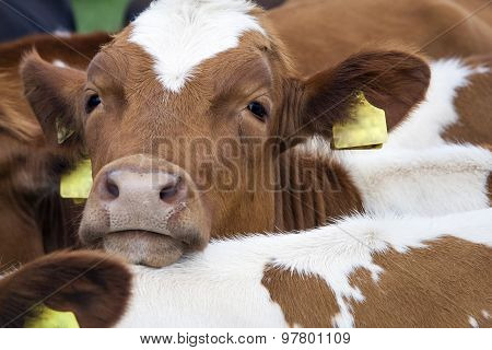 Head Of Young Red Cow Between Other Cows