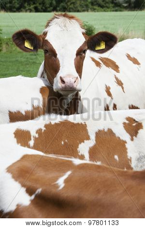 Head Of Young Red Cow Behind Other Cows