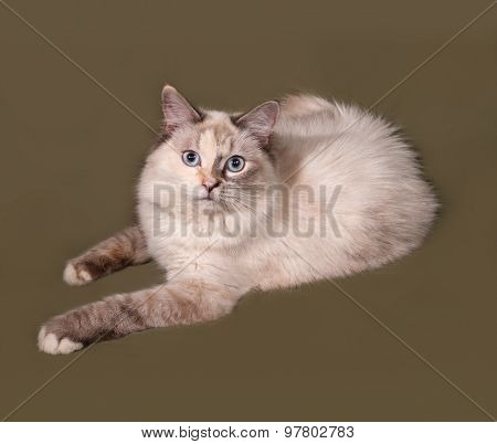 Siberian Cat Seal Point Lies On Green