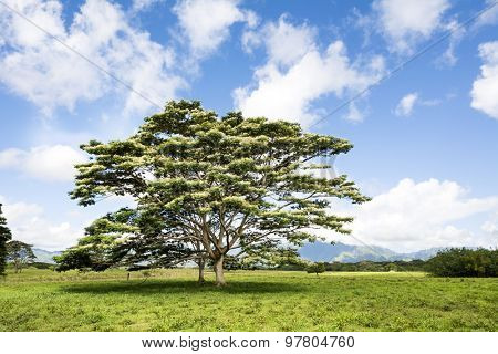An Albezia tree grows in the middle of a meadow of a countryside location in Kauai Hawaii.