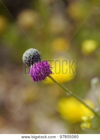 The bud of a magenta plume thistle