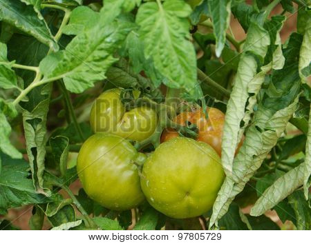 Tomatoes in a Croatian kitchen garden
