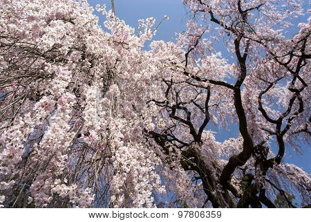 Large weeping cherry blossoms