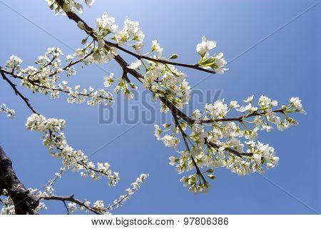 Asian plum flowers