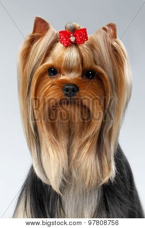Closeup Portrait Of Yorkshire Terrier Dog On White