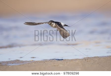 House martin Delichon urbica flying with mud for nest building