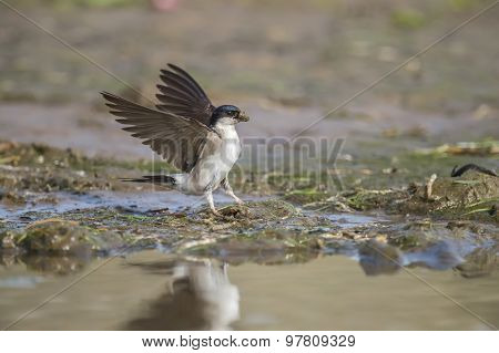 House martin Delichon urbica with mud for nest building