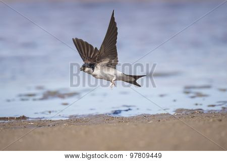 House martin Delichon urbica flying off with mud for nest building
