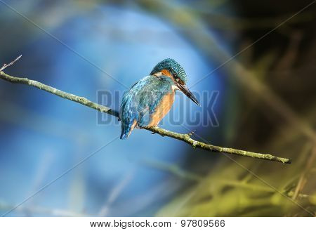 Kingfisher, female, perching on a branch