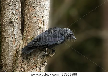 Jackdaw perched on a tree trunk in a forest