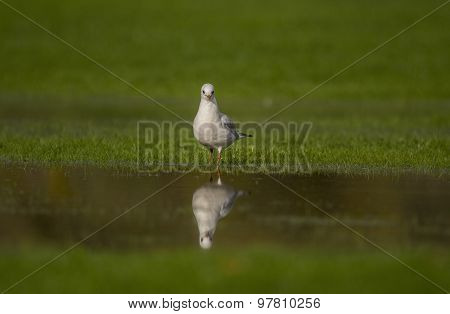 Black headed Gull on the grass reflected in a puddle