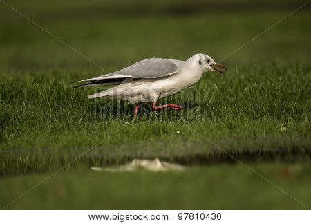 Black headed Gull on the grass squawking