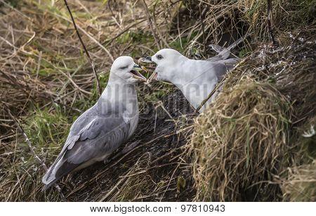 Fulmars Fulmarus glacialis mating ritual