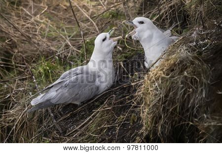 Fulmars Fulmarus glacialis mating ritual on the edge of a cliff