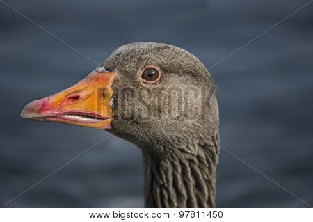 Greylag goose Anser anser portrait close up