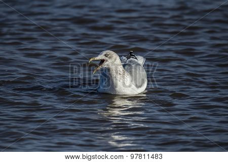 Herring gull Larus argentatus on the sea squawking