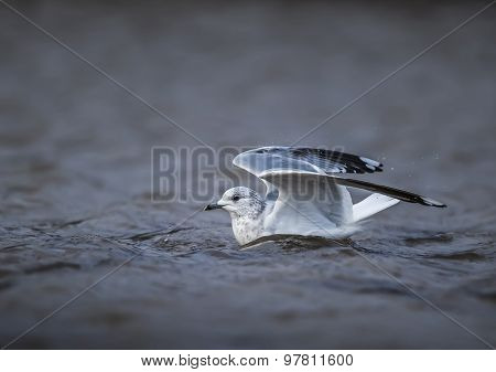 Common gull Larus canus floating on the sea ready to fly